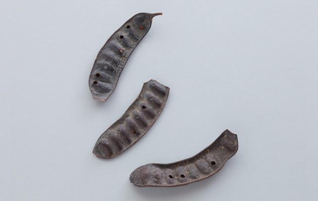 皂莢(さいかち) 平安時代中期に編纂された『延喜式』に、洗料として記されている。